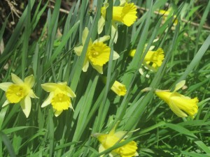 close up of wild daffodils growing in the field
