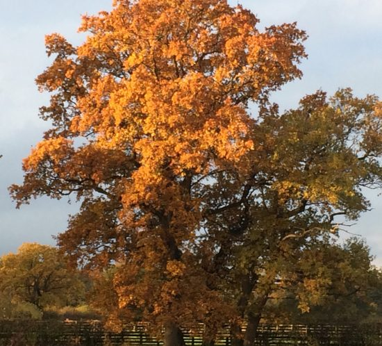 oak tree in autumn at once a hen house