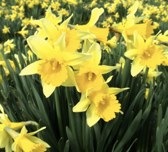Close up of a field of wild daffodils